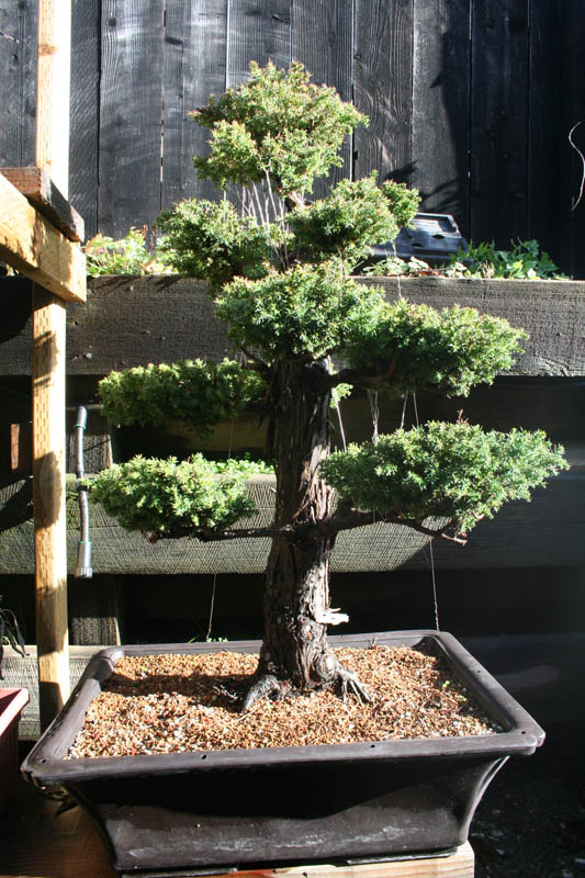 cryptomeria japonica bonsai japanese red cedar marin homestead rh marinhomestead com