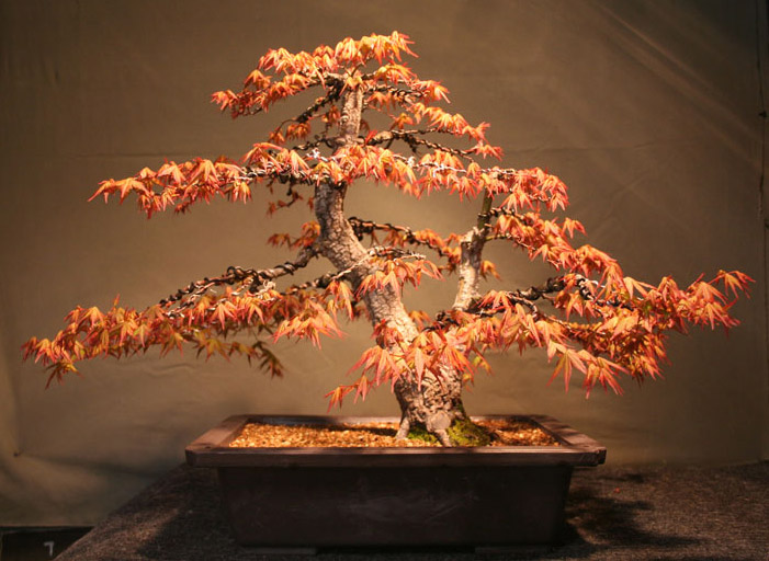Japanese Maple Arakawa Bonsai