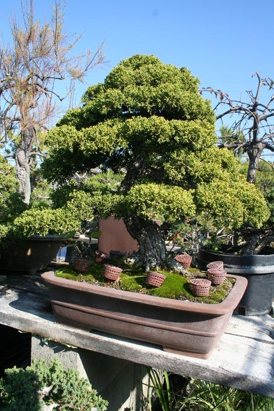 Chikugo En Bonsai Nursery Marin Homestead