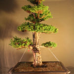 cryptomeria032711x1