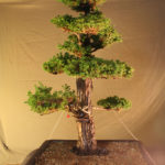 cryptomeria032711x2