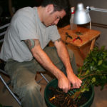 ficus-fusing-bonsai-11