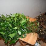 ficus-fusing-bonsai-13