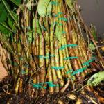 ficus-fusing-bonsai-14