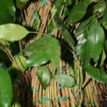 ficus-fusing-bonsai-16