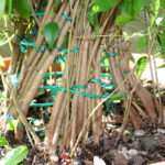 ficus-fusing-bonsai-23