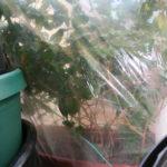ficus-fusing-bonsai-25