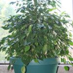 ficus-fusing-bonsai-26