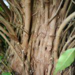 ficus-fusing-bonsai-37