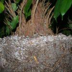 ficus-fusing-bonsai-41