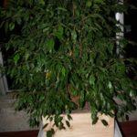 ficus-fusing-bonsai-43