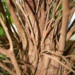 ficus-fusing-bonsai-47