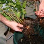 ficus-fusing-bonsai-5