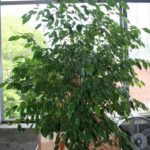 ficus-fusing-bonsai-51
