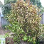 ficus-fusing-bonsai-55