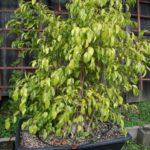 ficus-fusing-bonsai-57