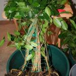 ficus-fusing-bonsai-9