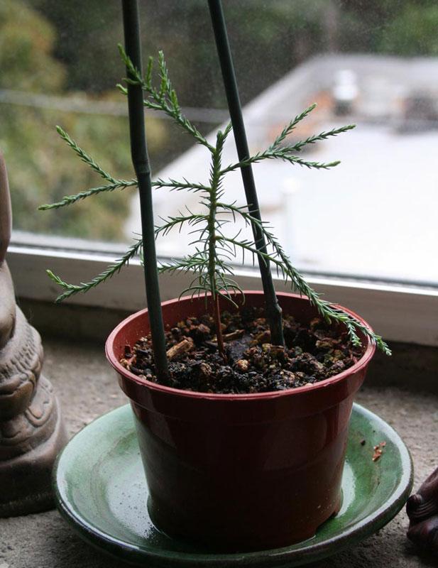Giant Sequoia Redwood Pre Bonsai Marin Homestead