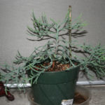 giant-sequoia-pre-bonsai-2