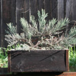 giant-sequoia-pre-bonsai-6