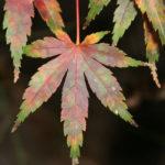 japanese-maple-acer-palmatum-bonsai-3