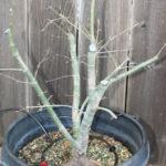 japanese-maple-acer-palmatum-bonsai-4