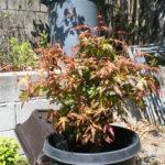 japanese-maple-acer-palmatum-bonsai-8