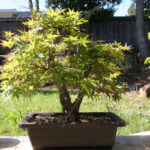 japanese-maple-arakawa-bonsai-14