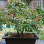 japanese-maple-arakawa-bonsai-15