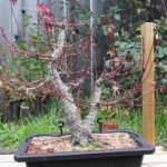 japanese-maple-arakawa-bonsai-17