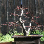 japanese-maple-arakawa-bonsai-18