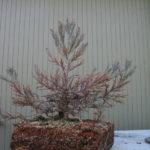 sequoia-012311-3