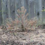 sequoia032711