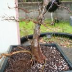 trident-maple-bonsai-18