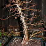 trident-maple-bonsai-20