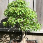 trident-maple-bonsai-3