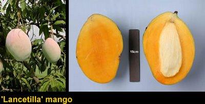 Lancetilla Mango