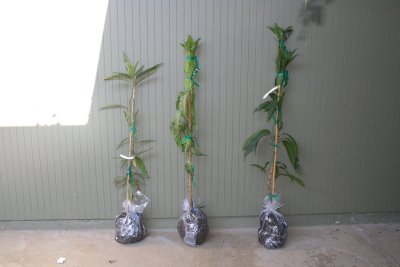My Mango trees are HERE!