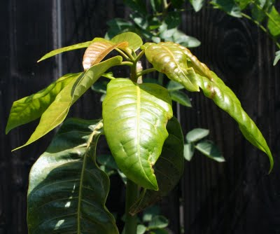 Northern California Mango Tree Update: Carrie, Lancetilla, Glen, Icecream