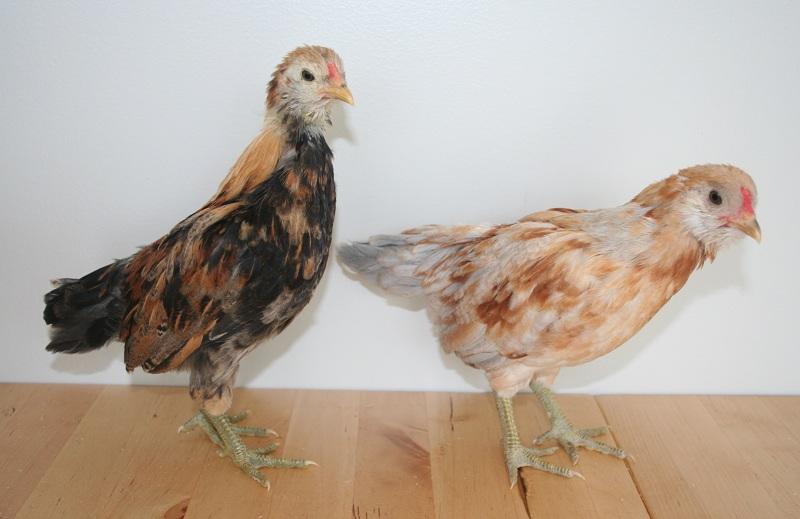 Marin Chickens: 6 weeks old – Marin Homestead