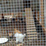 chicken-coop-building-108