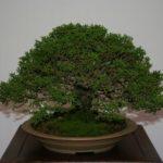rebs-bonsai-show-21011-03