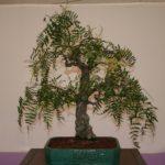 rebs-bonsai-show-21011-04