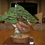 rebs-bonsai-show-21011-07