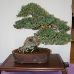 rebs-bonsai-show-21011-10