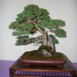 rebs-bonsai-show-21011-17
