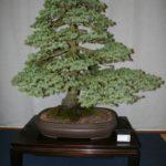 rebs-bonsai-show-21011-18