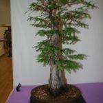 rebs-bonsai-show-21011-19