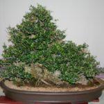 rebs-bonsai-show-21011-21