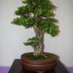 rebs-bonsai-show-21011-28